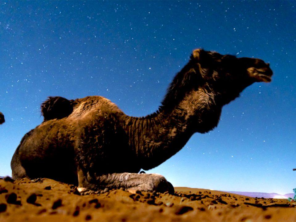 dromedario en el sahara